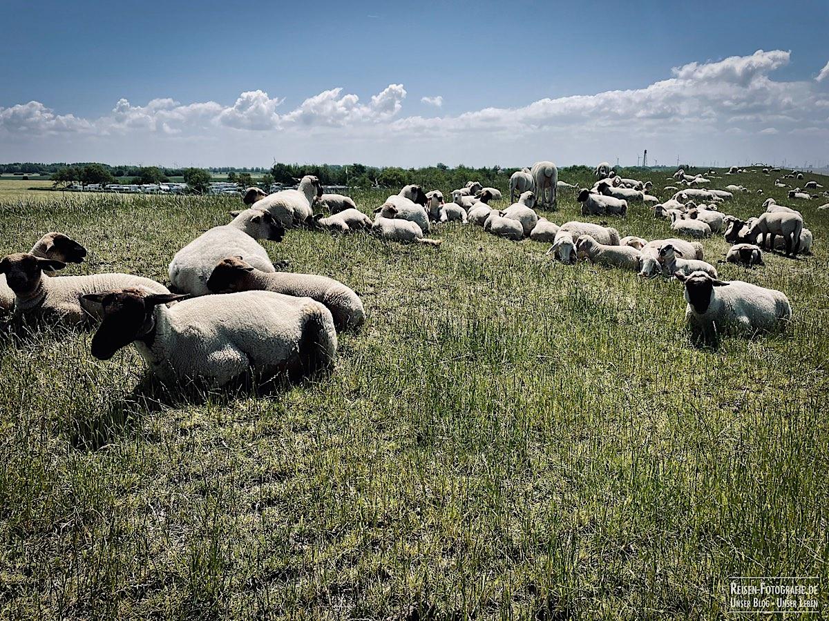 Schafe, mal wieder