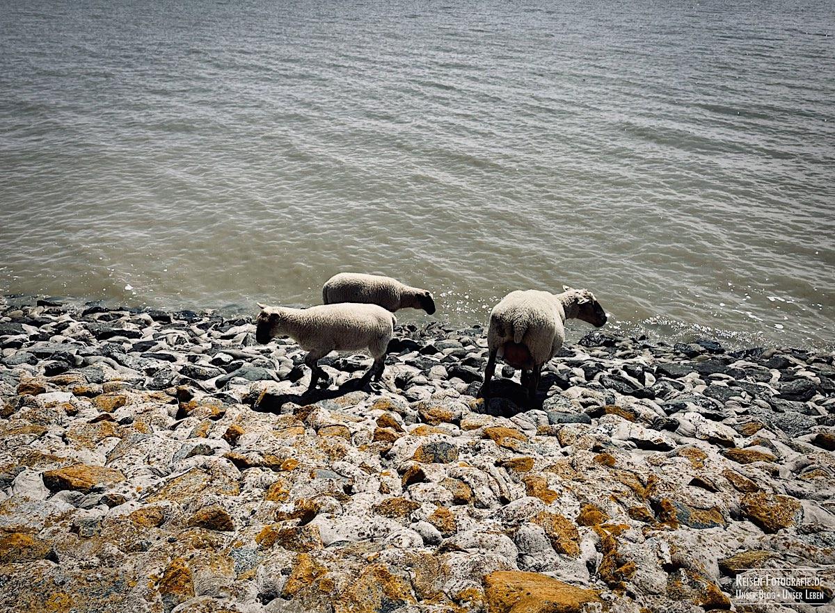 Schafe am Wasser