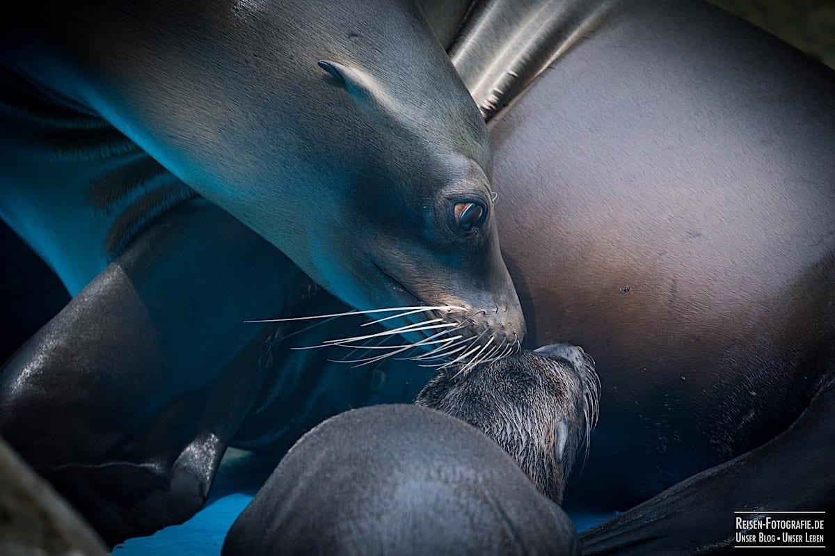 Nachwuchs Seelöwen
