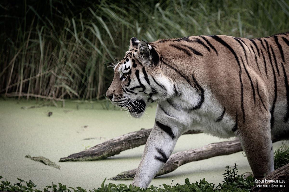 blog-2021-07-30-duisburg-tiger-10