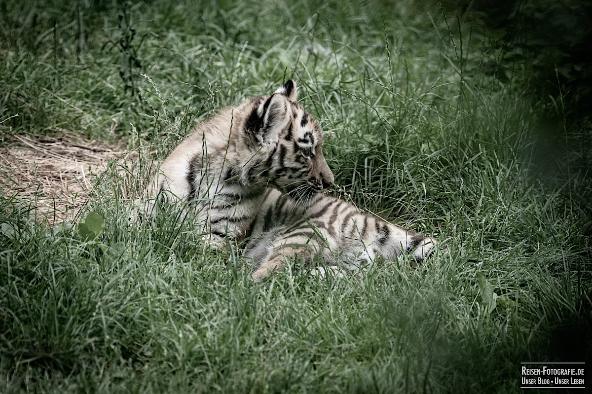 blog-2021-07-30-duisburg-tiger-11