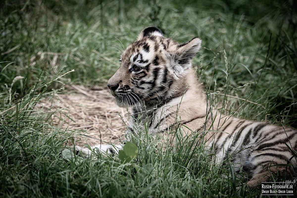 blog-2021-07-30-duisburg-tiger-12