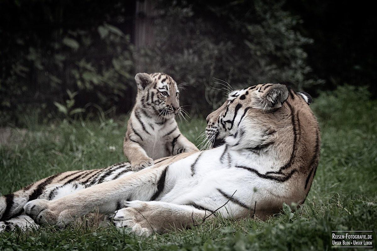 blog-2021-07-30-duisburg-tiger-13
