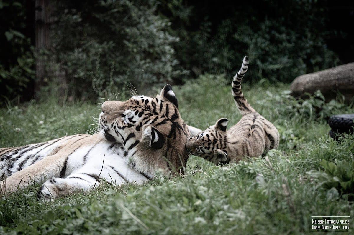 blog-2021-07-30-duisburg-tiger-14