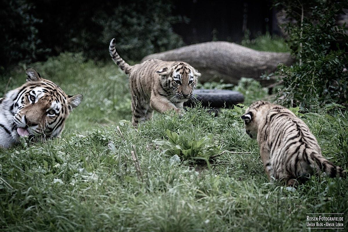 blog-2021-07-30-duisburg-tiger-15