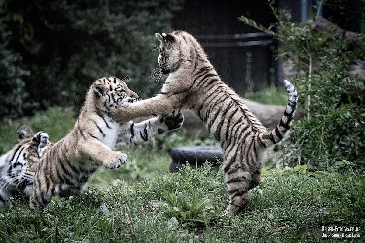 blog-2021-07-30-duisburg-tiger-16
