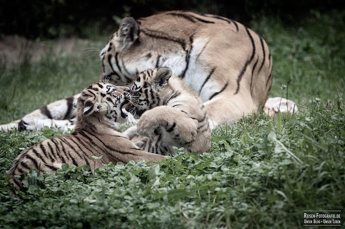 blog-2021-07-30-duisburg-tiger-17