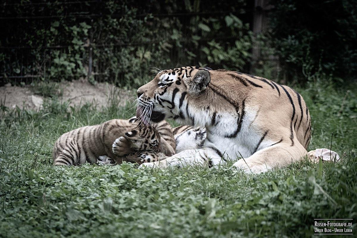blog-2021-07-30-duisburg-tiger-18