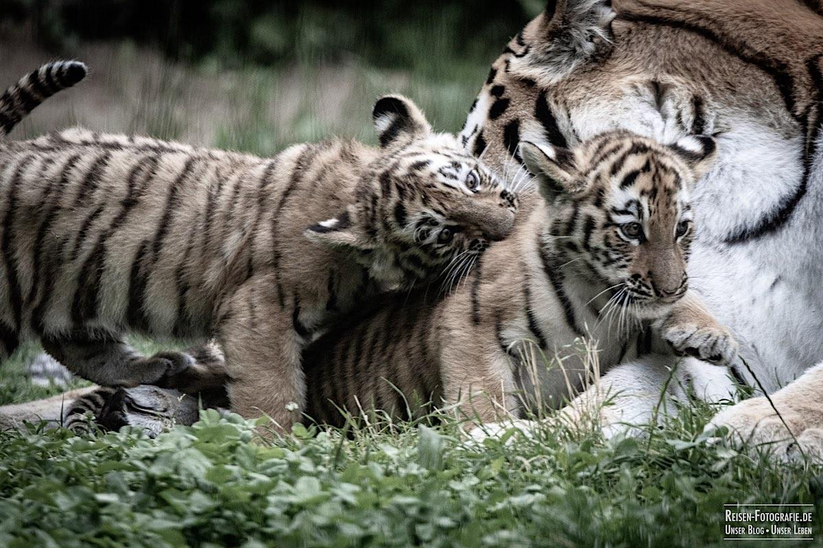 blog-2021-07-30-duisburg-tiger-19