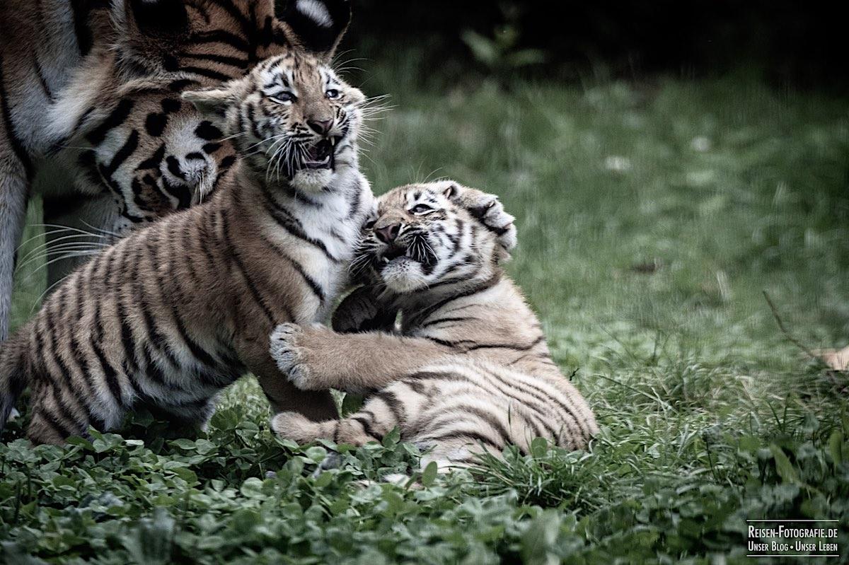 blog-2021-07-30-duisburg-tiger-21