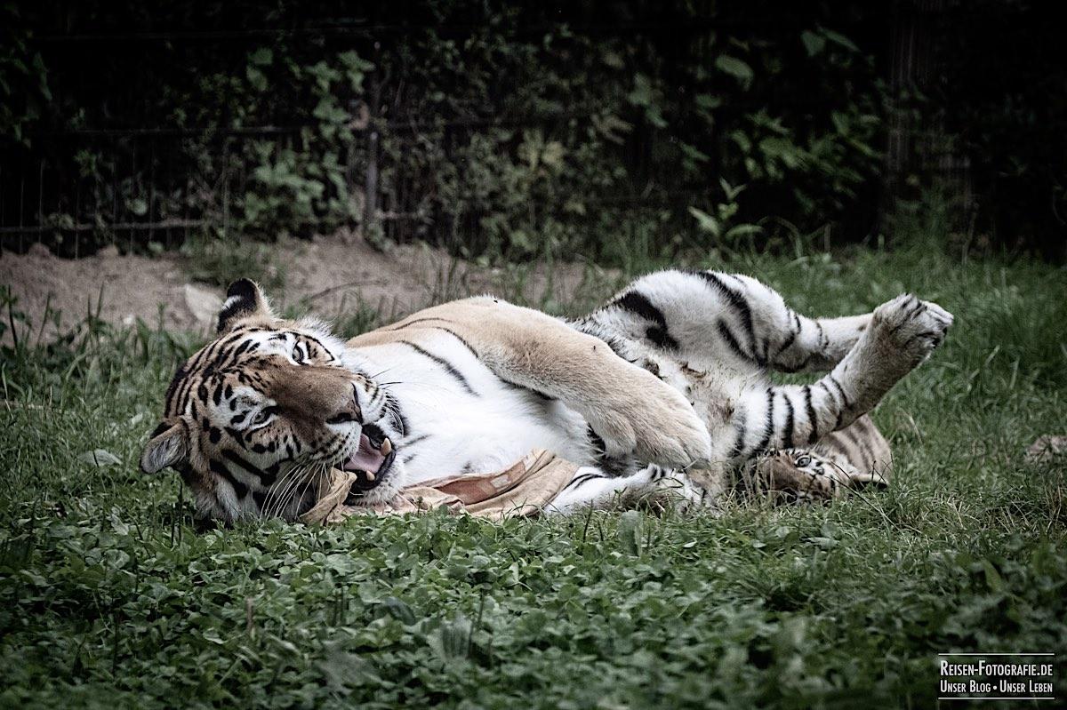 blog-2021-07-30-duisburg-tiger-25