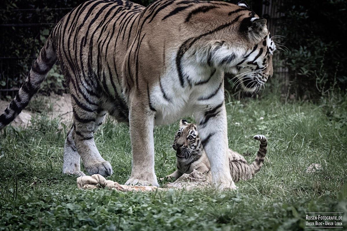 blog-2021-07-30-duisburg-tiger-26