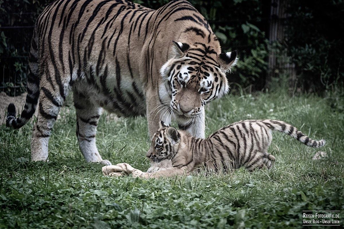 blog-2021-07-30-duisburg-tiger-27