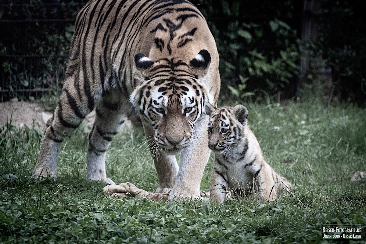 blog-2021-07-30-duisburg-tiger-28