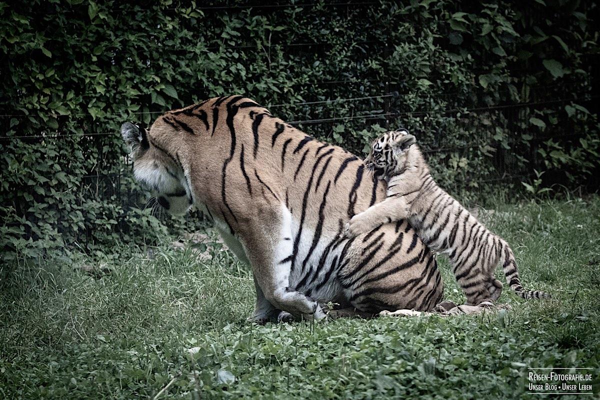 blog-2021-07-30-duisburg-tiger-30
