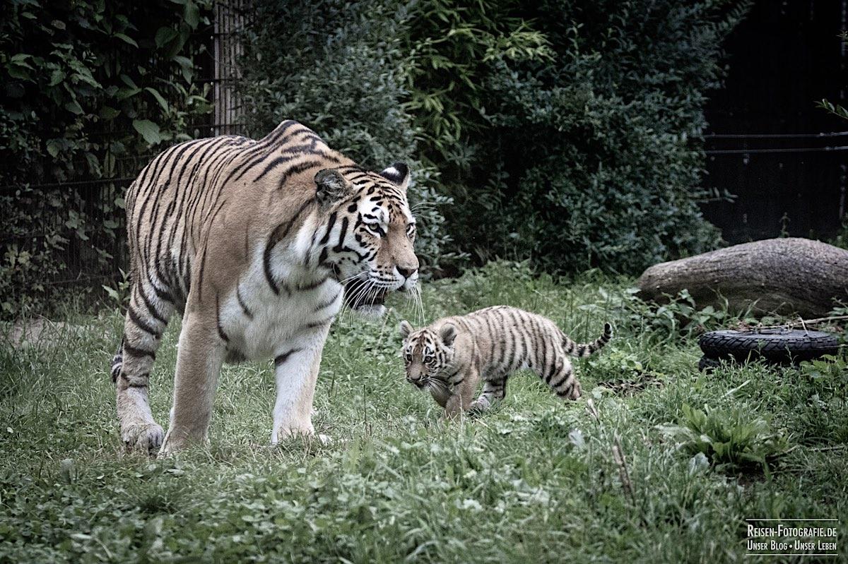 blog-2021-07-30-duisburg-tiger-31