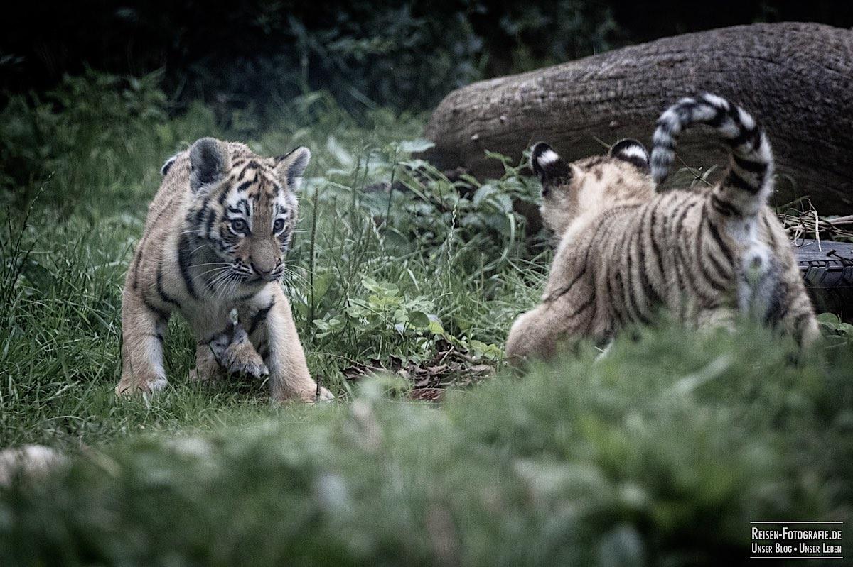 blog-2021-07-30-duisburg-tiger-32