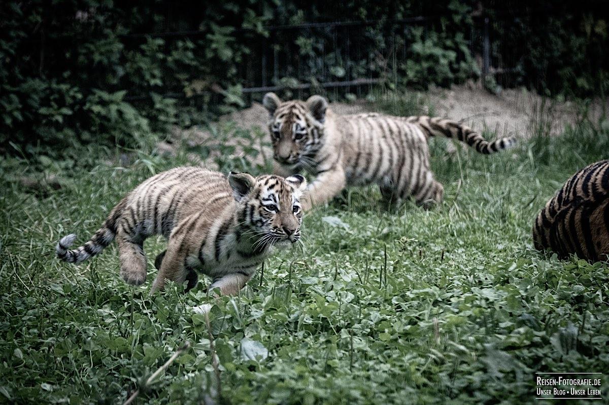 blog-2021-07-30-duisburg-tiger-33