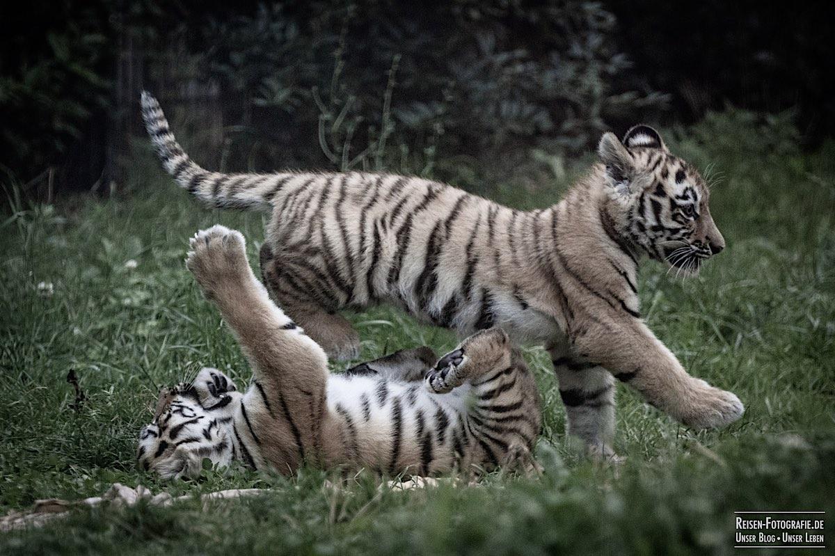 blog-2021-07-30-duisburg-tiger-34