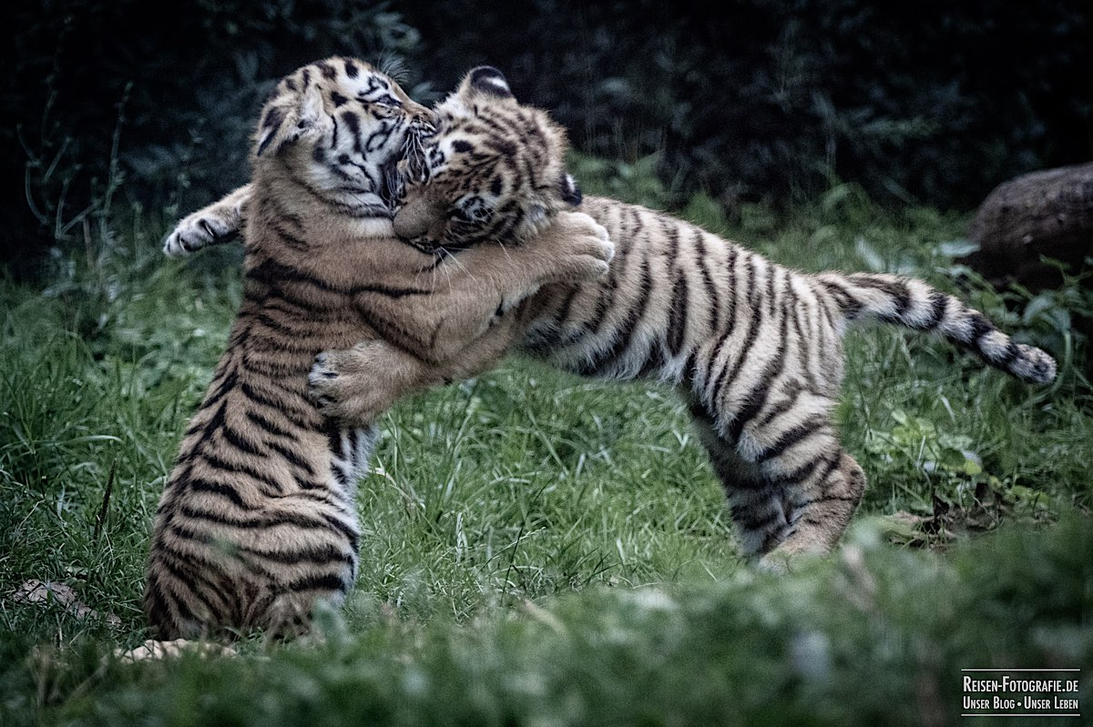 blog-2021-07-30-duisburg-tiger-35