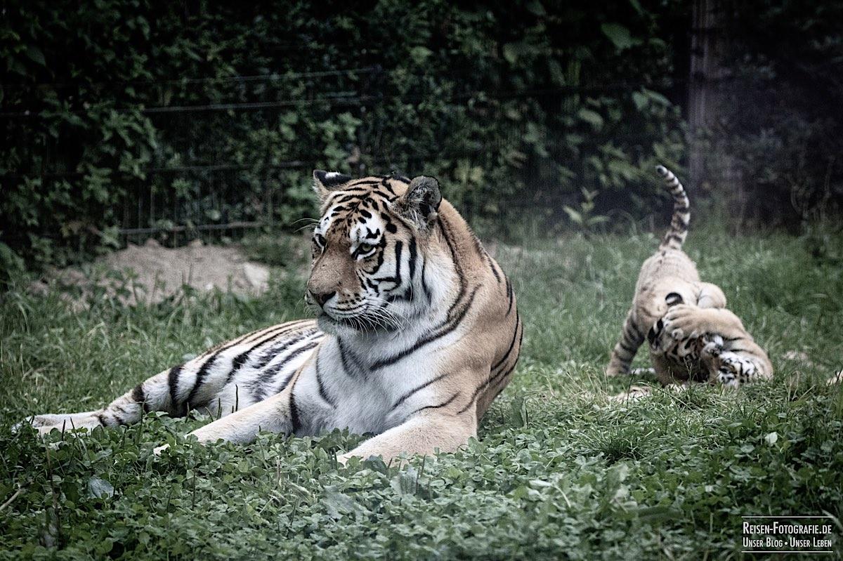 blog-2021-07-30-duisburg-tiger-36