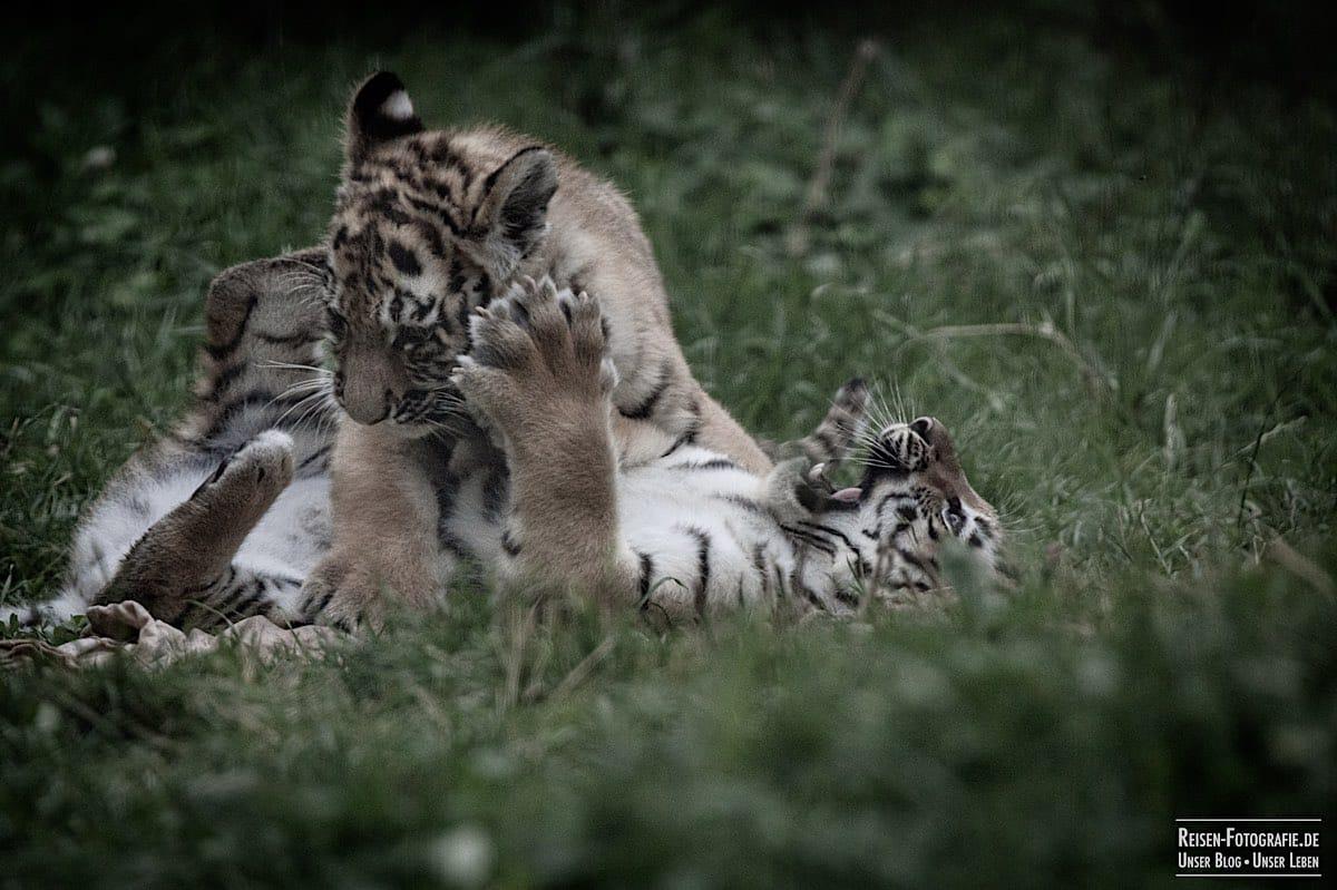 blog-2021-07-30-duisburg-tiger-37