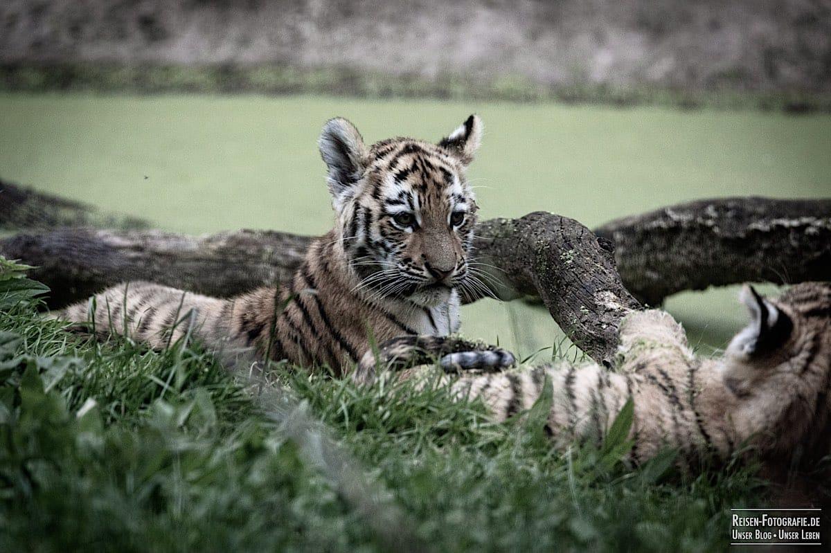 blog-2021-07-30-duisburg-tiger-38