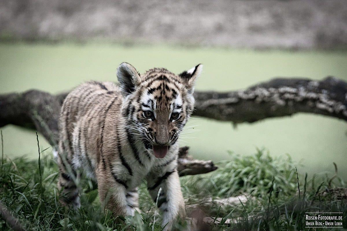 blog-2021-07-30-duisburg-tiger-39