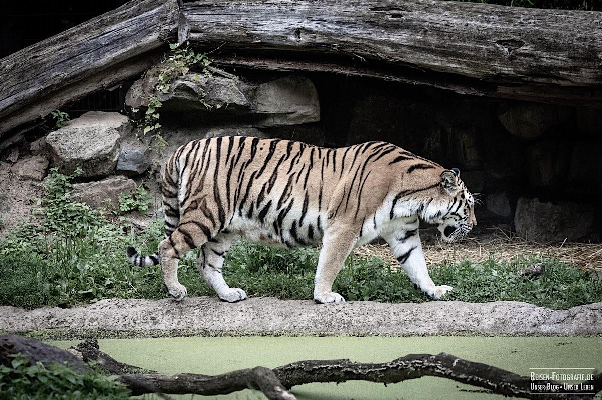 blog-2021-07-30-duisburg-tiger-40
