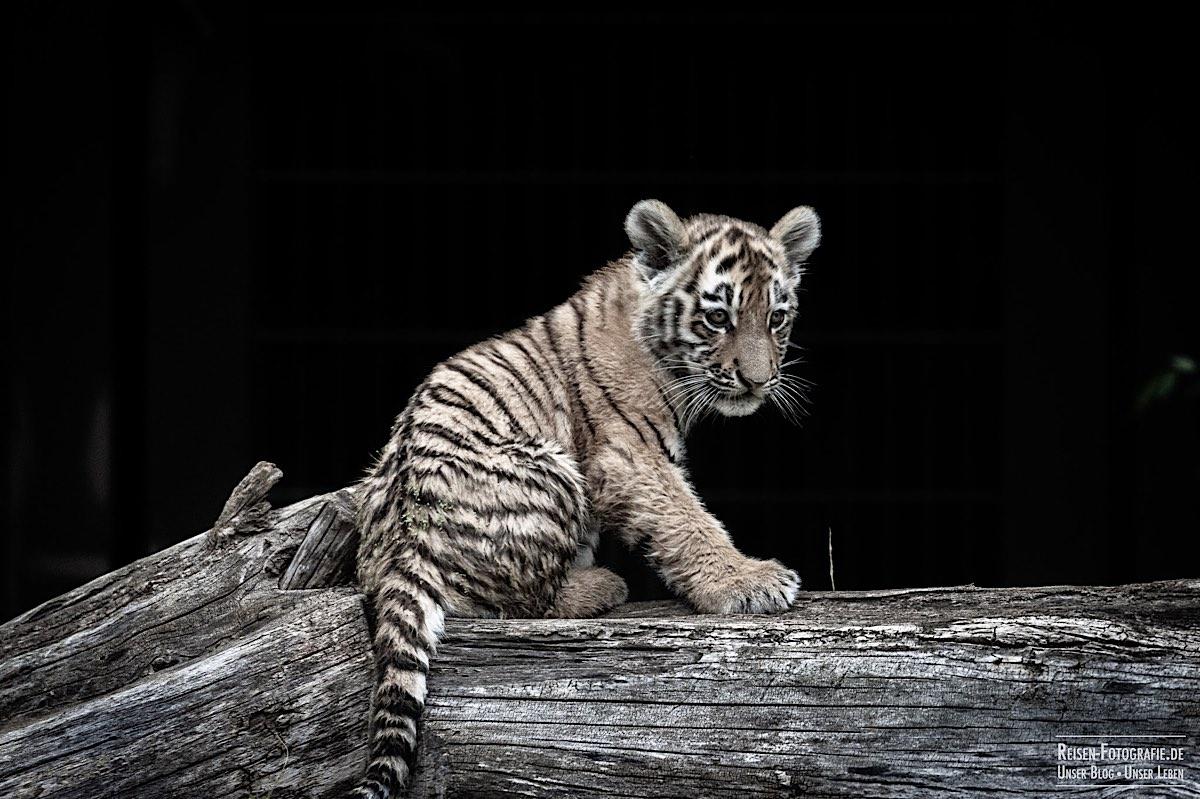 blog-2021-07-30-duisburg-tiger-42