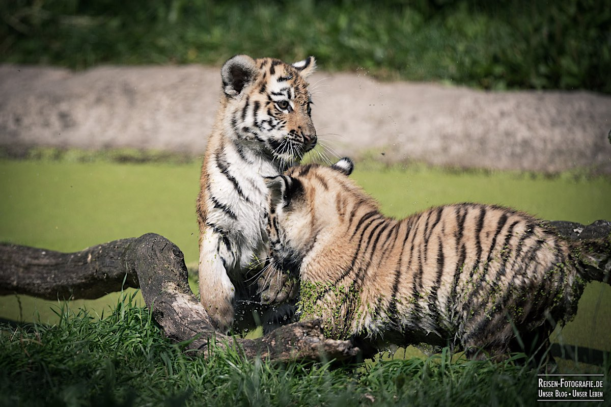 blog-2021-08-05-tiger-du-11