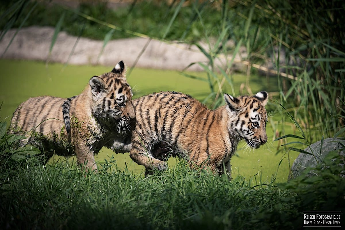 blog-2021-08-05-tiger-du-12