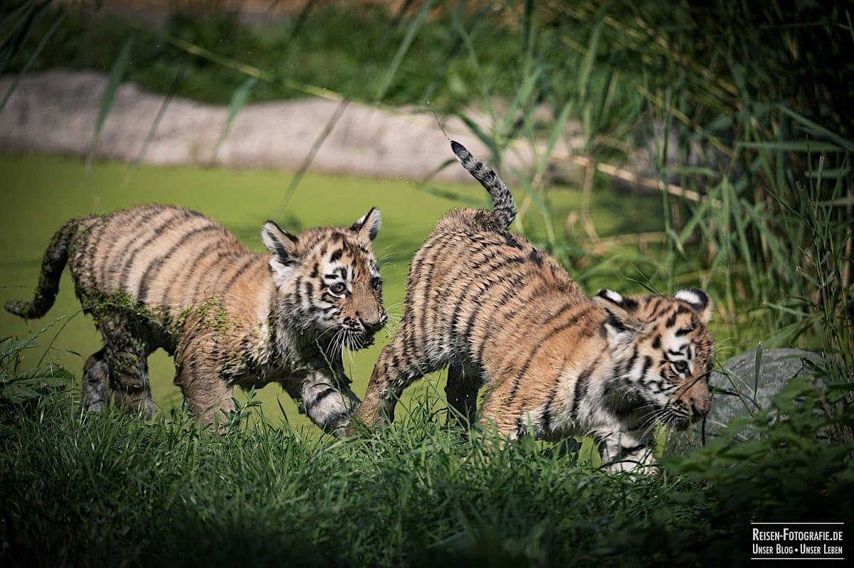 blog-2021-08-05-tiger-du-13