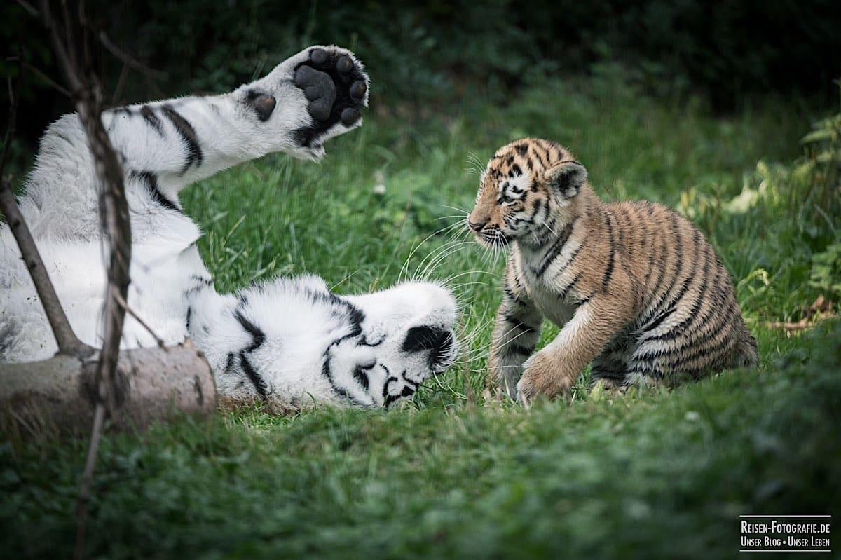 blog-2021-08-05-tiger-du-15