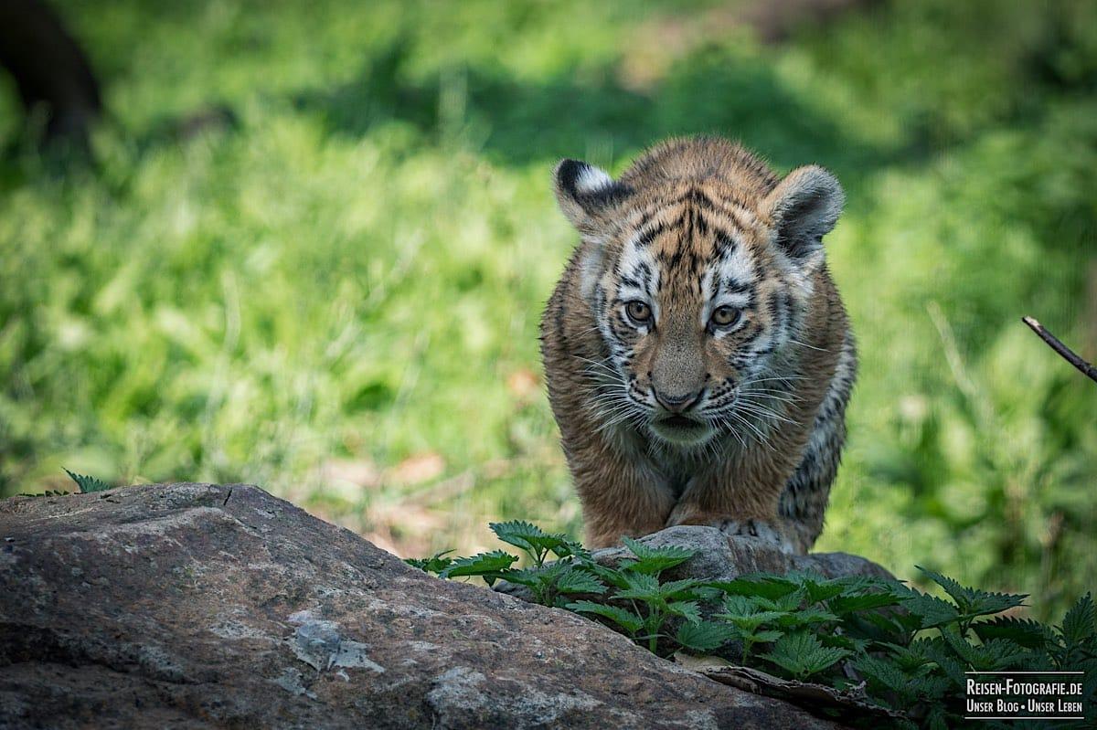 blog-2021-08-05-tiger-du-16