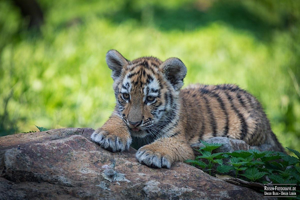 blog-2021-08-05-tiger-du-17