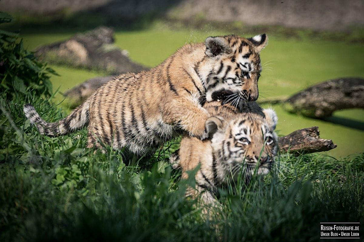 blog-2021-08-05-tiger-du-18