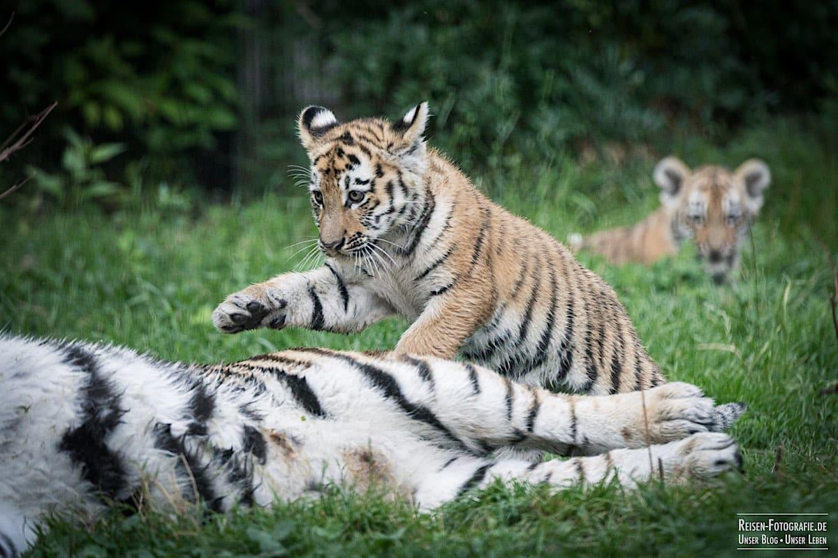 blog-2021-08-05-tiger-du-19