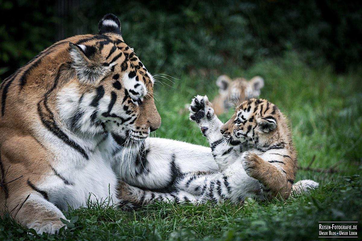 blog-2021-08-05-tiger-du-20