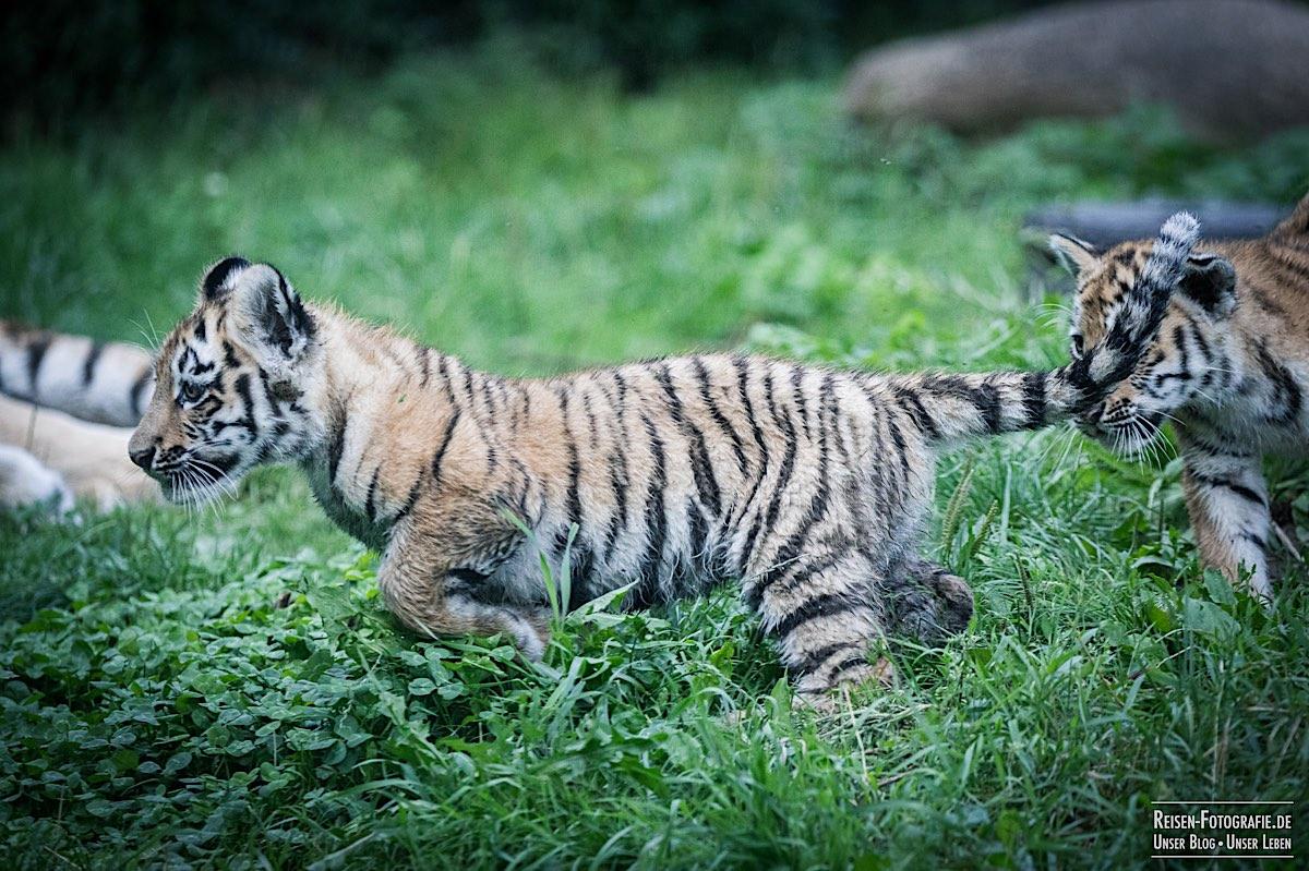 blog-2021-08-05-tiger-du-21