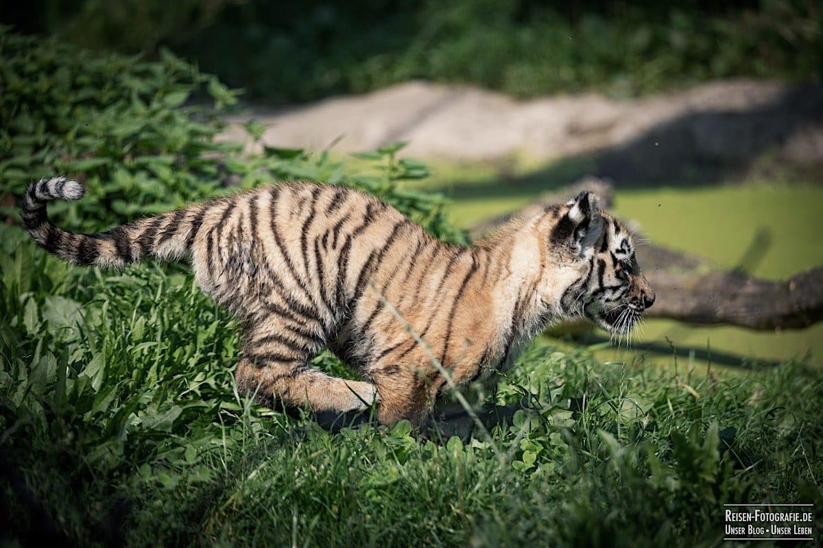 blog-2021-08-05-tiger-du-23