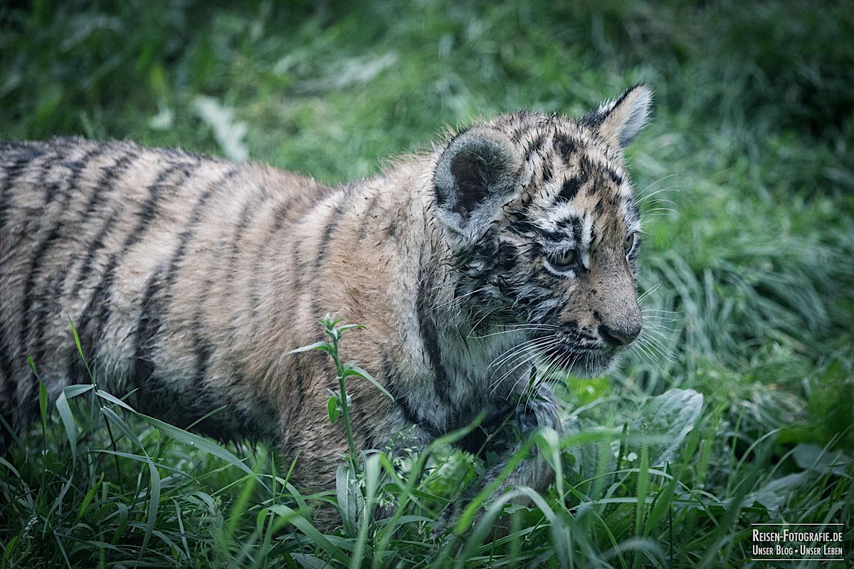 blog-2021-08-05-tiger-du-24