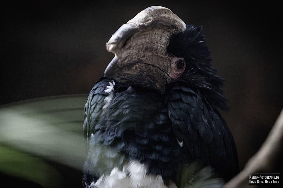 Hornvogel